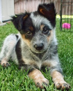 australian-cattle-dog_cucciolo