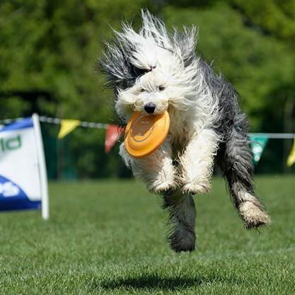 disc dog bobtail